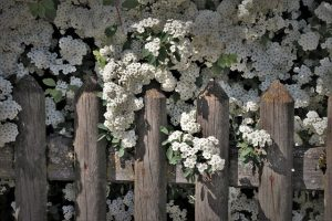 A wooden fence decorated with white flowers.