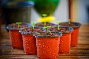 Plastic flower pots with little buds inside.
